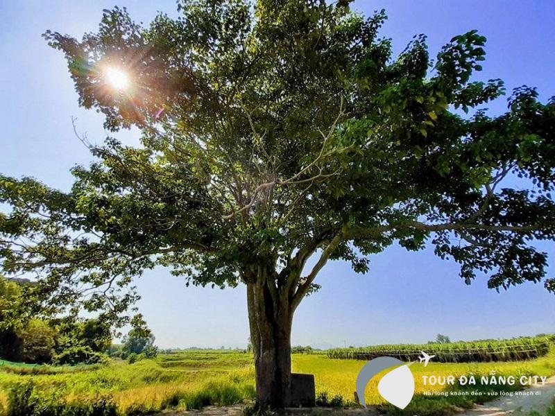 cây cô đơn huế