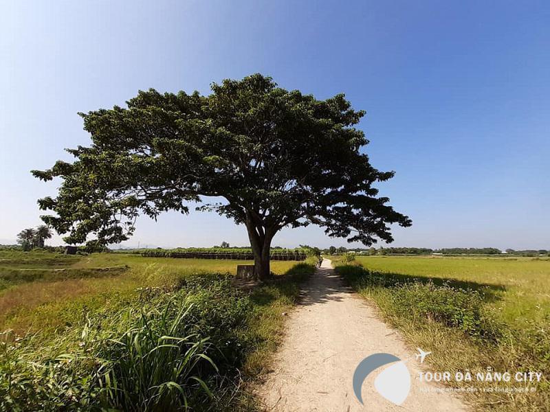 cây ngô đồng huế