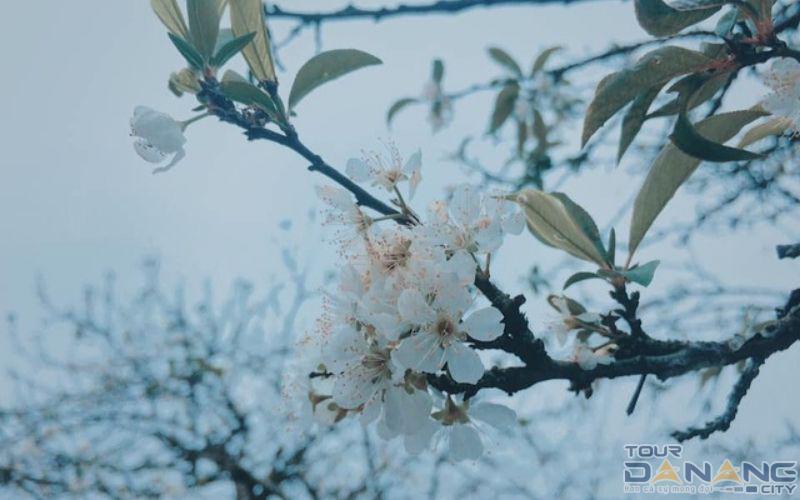 Mùa hoa mận nở rộ