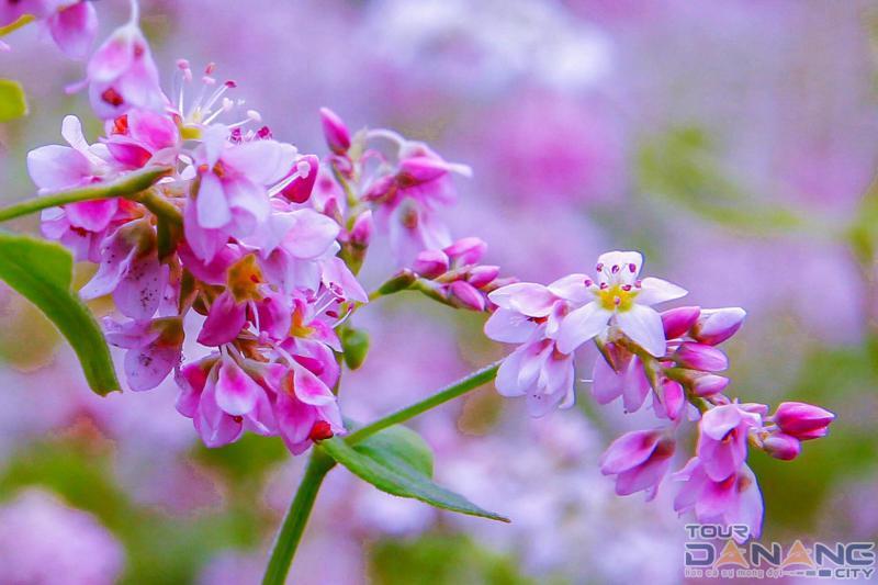 hoa tam giác mạch tháng mấy